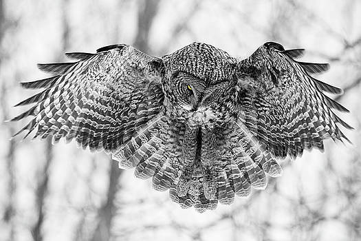 The Great Grey Owl in Black and White by Mircea Costina Photography