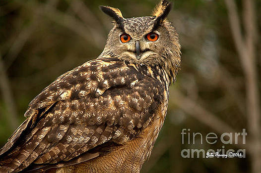 The Great Horned Owl by Jale Fancey