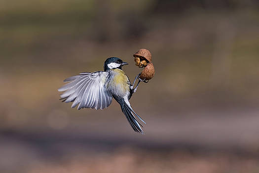 The great tit Parus major catching walnut in the air. Selectiv by Julian Popov