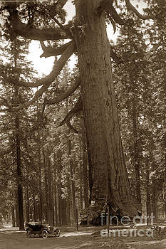 California Views Mr Pat Hathaway Archives - The Grizzly Giant is a giant sequoia in Mariposa Grove is in Yosemite circa 1916