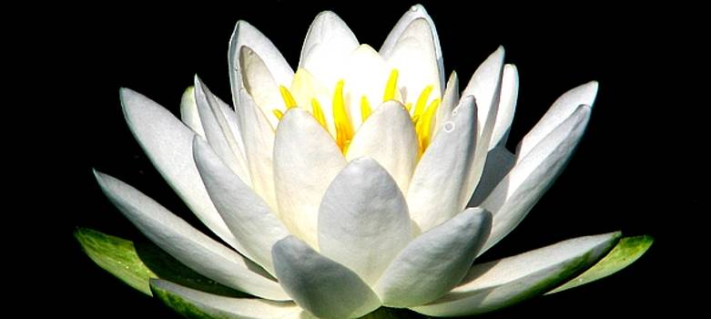 The Heart Of A Lotus by Angela Davies