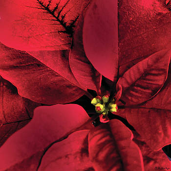The Heart of a Poinsettia by Celtic Artist Angela Dawn MacKay