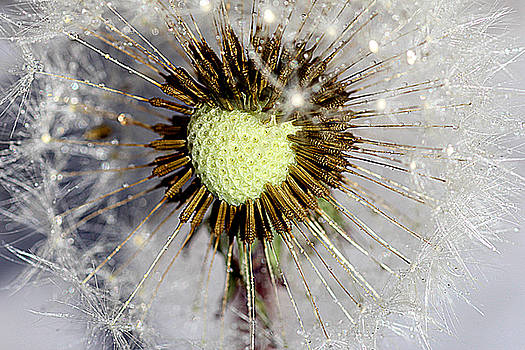 The heart of the dandelion by Martin Smith