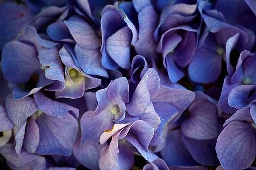 Karen Scovill - The Hydrangea