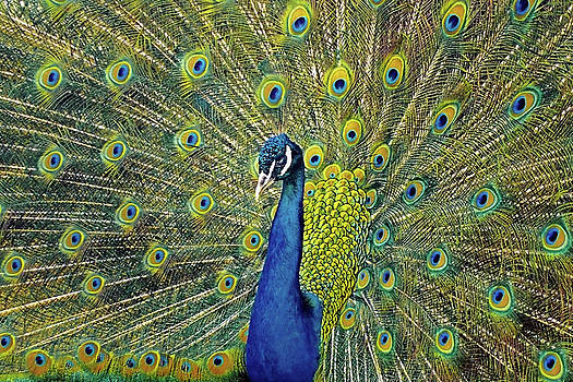 The impressive peacock by Asbed Iskedjian