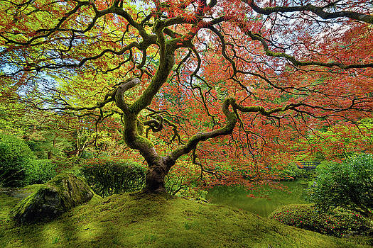 The Japanese Maple Tree in Spring by David Gn