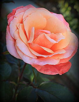 The Last Rose of Summer by Dora Sofia Caputo Photographic Design and Fine Art