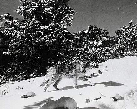 The Legend of Lobo by Bob Bradshaw