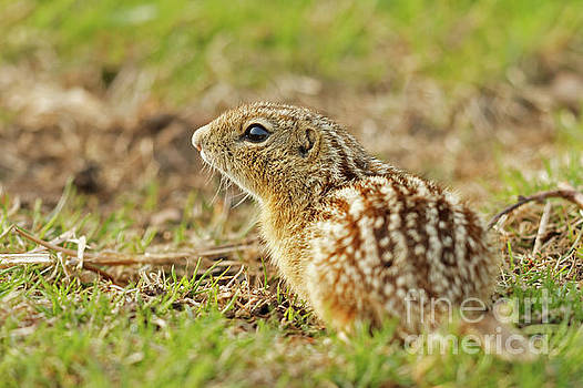 The Leopard Ground Squirrel by Natural Focal Point Photography