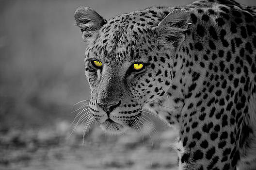 The Leopard by Ivan SABO