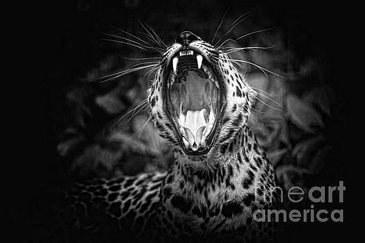 The  Leopard's Tongue Rolling Roar by Mary Lou Chmura