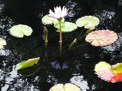 The Lily Pond by Allison Jones