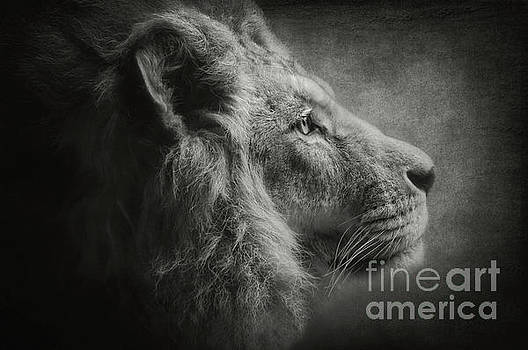 The Lion b/w by Angela Doelling AD DESIGN Photo and PhotoArt