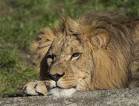 The Lion King by Jim Markiewicz