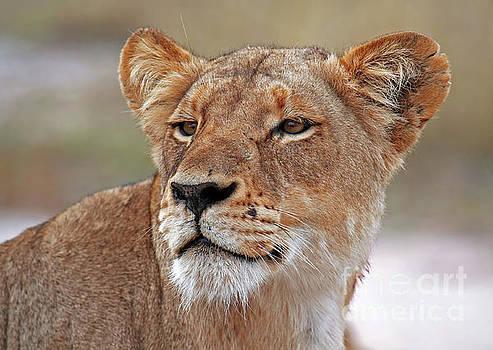 The lioness, Africa wildlife by Wibke W