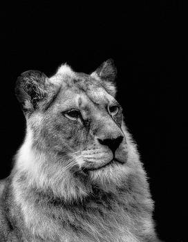 The lioness sitting proud by Alan Campbell