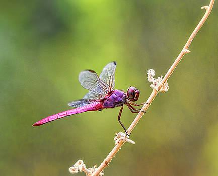 Saija Lehtonen - The Little Pink Dragonfly