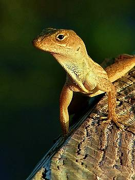The Lizard King by Jeffery Bennett