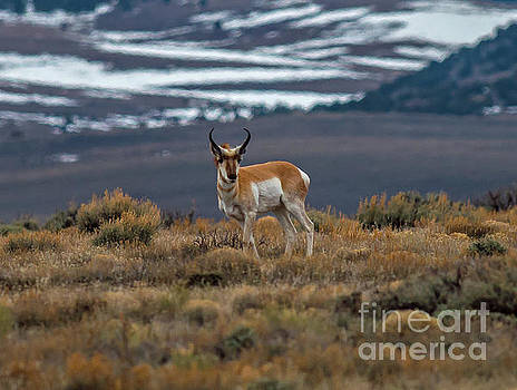 The Lone Antelope by Stephen Whalen