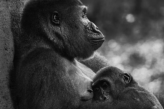 The love between a mother gorilla and son by Inc Pics Studios