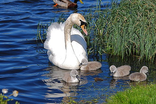 Doug Thwaites - The Lovely Mrs Swan and Family
