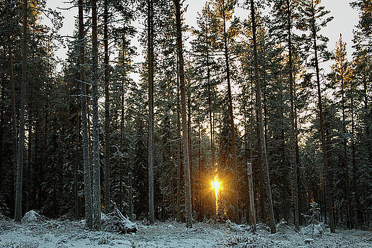 The low winter sun shines through the trees of a conifer forest by Ulrich Kunst And Bettina Scheidulin