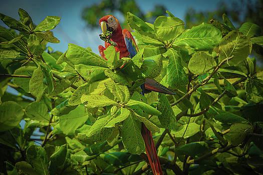 The Macaw by Paki O'Meara