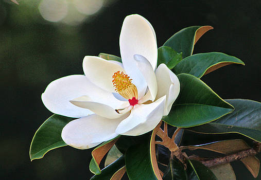 The Magnolia by Mamie Thornbrue