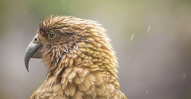 The Majestic Kea by Racheal Christian