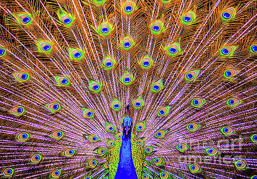 The Majestic Peacock by D Davila