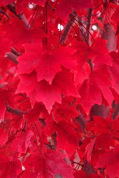 DONNA BENTLEY - The Maple Leaves