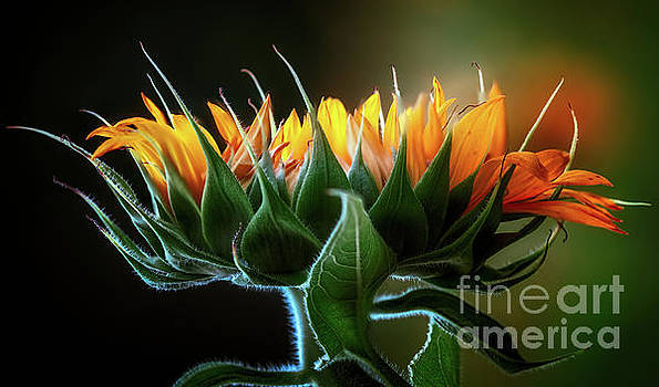 The Mighty Sunflower by Doug Sturgess