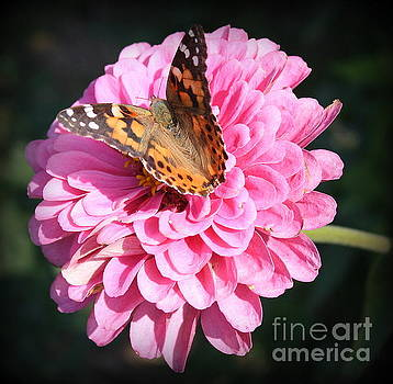 Painted Lady Butterfly and Zinnia by Dora Sofia Caputo Photographic Art and Design