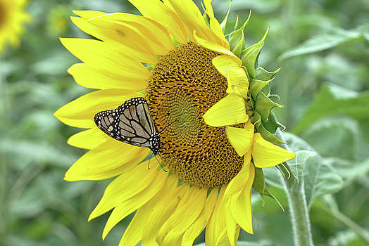The Monarch and the Sunflower by Megan Martens