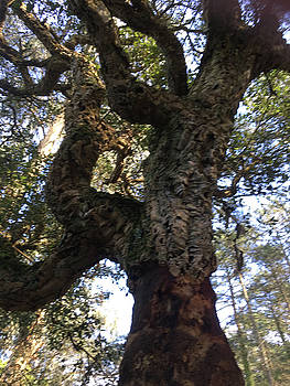 The Old Cork Tree by Susan Grunin