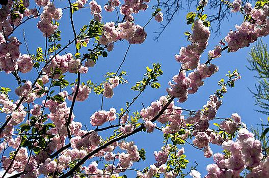 The Oriental cherry blossoms by Arkadiy Fridman
