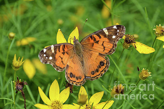 The Painted Lady by Lisa Kilby