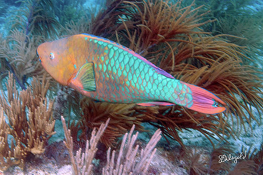 Steve Weigold - The Parrot Fish