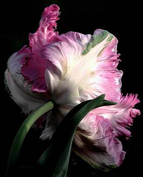The Parrot Tulip Queen Of Spring by Angela Davies