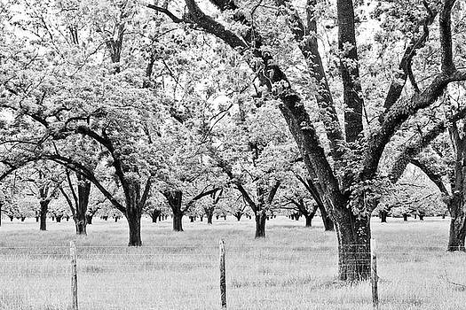 Scott Pellegrin - The Pecan Orchard - BW