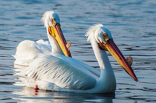 The Pelican Couple by John Roach