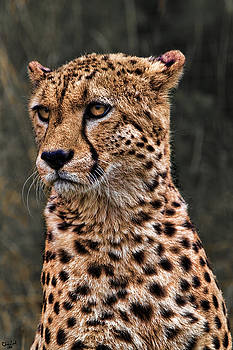 Chris Lord - The Pensive Cheetah