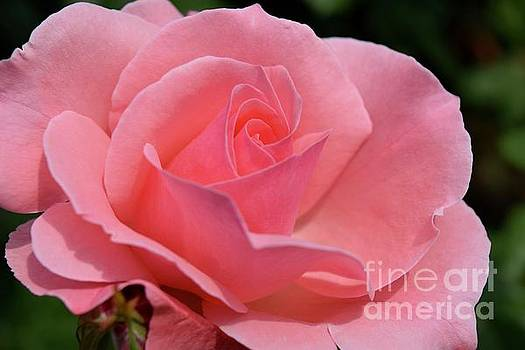 The Perfect Coral Rose by Jeannie Rhode