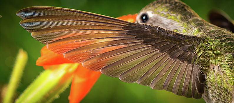 The perfect left wing of a hummingbird by William Freebillyphotography