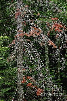 The Pines by Randy Pollard