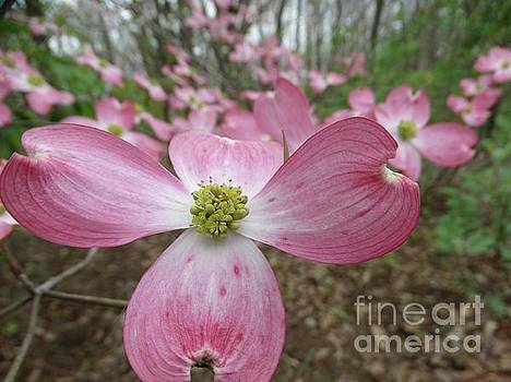 The Pink Dogwood in Spring by Rebecca Overton