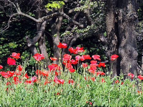 The Poppy Garden by Teresa Schomig