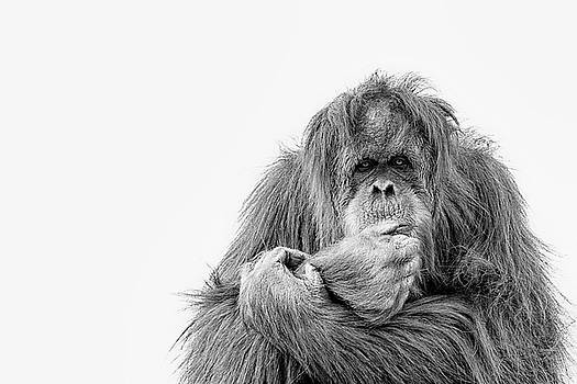 The Primate ponders by Ruth Jolly