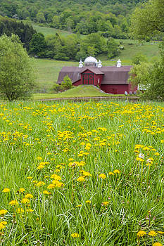 The Red Barn and Dandelions by Paula Porterfield-Izzo