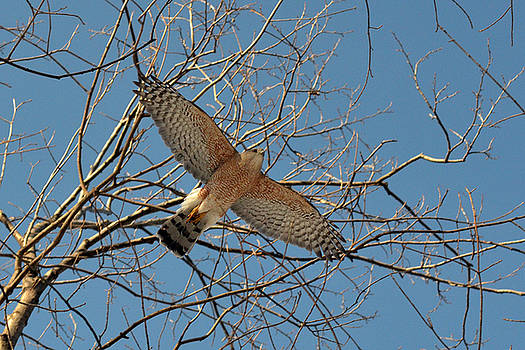 The Red-shouldered Hawk by Asbed Iskedjian